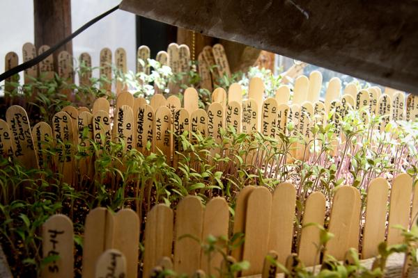 Different varieties of tomato seedlings at Penn's house.