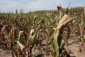 This year, Missouri has reported a 28% decrease in corn crop yields due to the devastating summer drought.