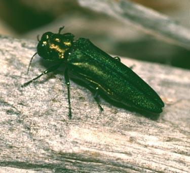 A male emerald ash borer