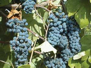 Many Missouri wineries use Norton/Cynthiana grape, the state grape. The grape has an intense flavor making them ideal for dry red wines.