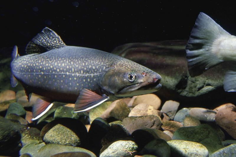 Brook trout are among the coldwater fish that are already feeling the impacts of climate change.