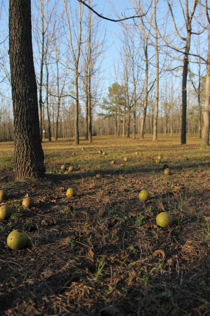 Walnuts thump to the ground at the Martin Tree Farm near Cape Girardeau, Mo.