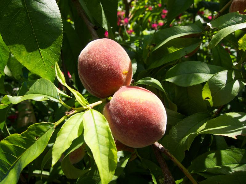 Peaches won't grow if peach trees are damaged