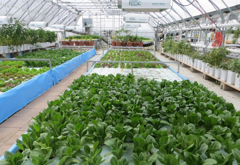 At All Seasons Harvest near Cedar Falls, Iowa, lettuce, kale and herbs are grown in nutrient-rich water fertilized by tanks of farmed tilapia fish.