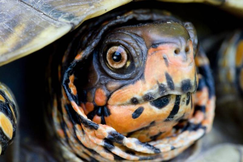 Close-up of three-toed box turtle
