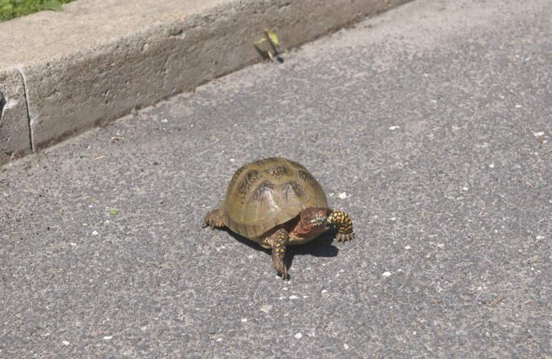 Box turtle crossing the road.
