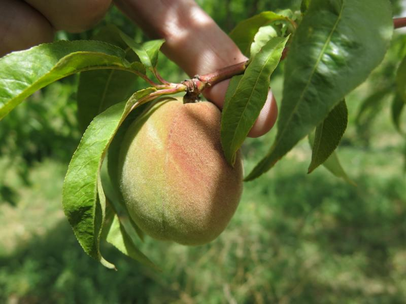 Peaches are the big draw to Zadrozny's Palisade orchard.