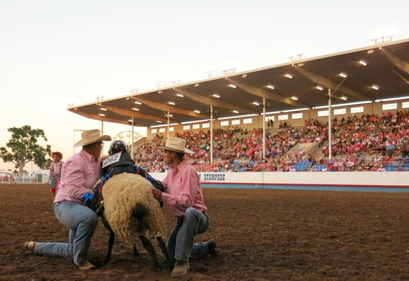 Two cowboys lift a mutton busting participant onto a wooly sheep at the Greeley (Colo.) Stampede rodeo.