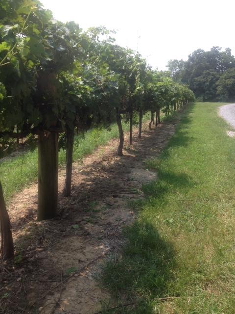 River Ridge Winery's vineyard located in Commerce, Mo.