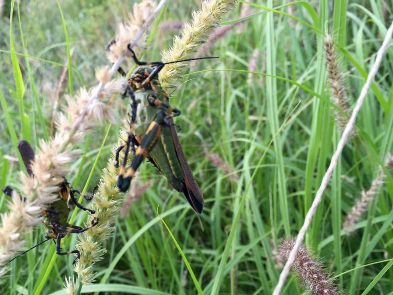 Parts of Argentina have been swarmed by a South American locust, Schistocerca cancellata, pictured here in Santiago Del Estero province. It is not found in North America.