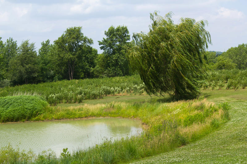 Beyond the pond and willow tree, one of Peggy Fogle's aronia berry fields blows in the summer breeze.