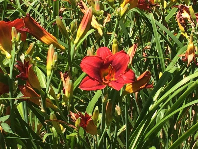 One of the many vibrant daylilies in Niswonger's garden.