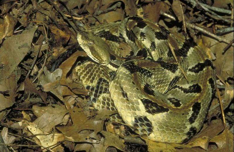 A timber rattlesnake