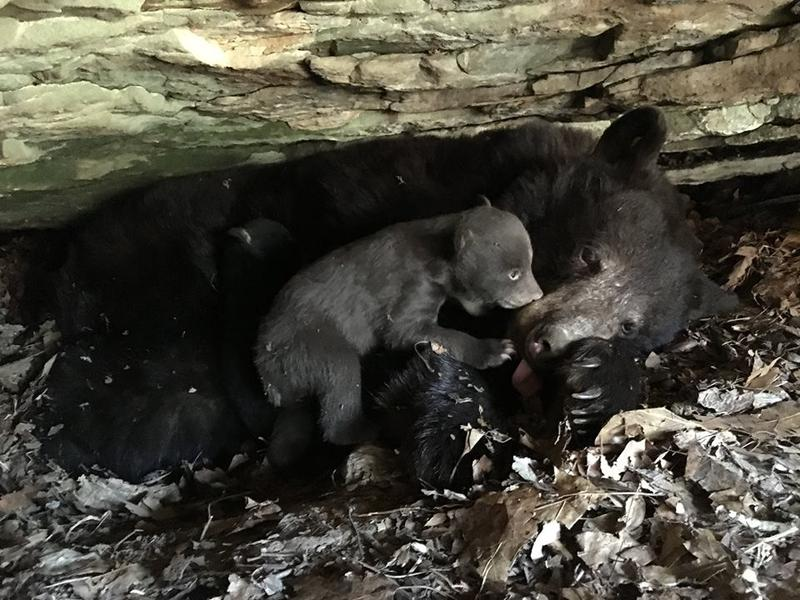 A black bear cub lays in a den with its mother.
