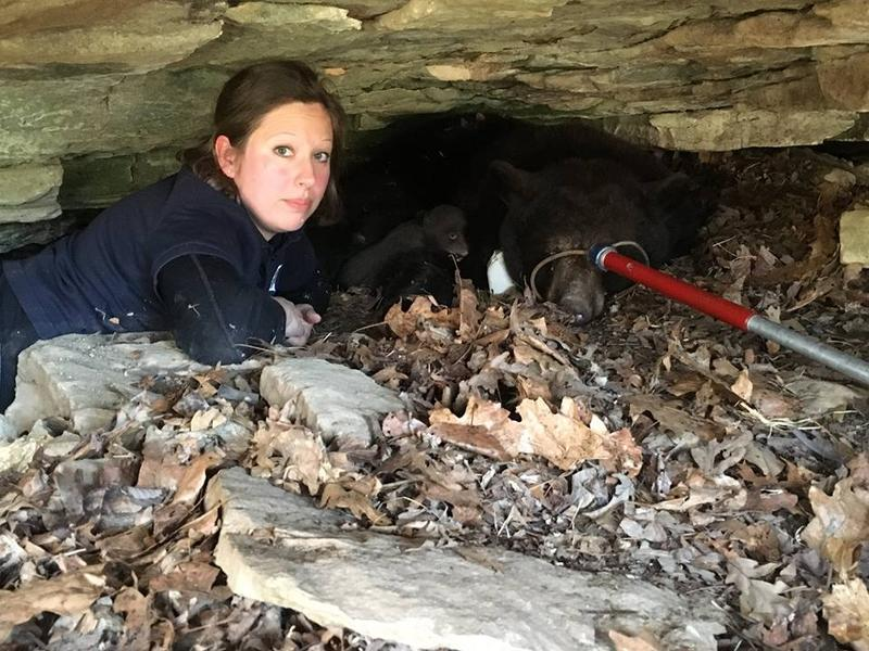 Missouri Department of Conservation bear biologist, Laura Conlee lays in a den with a sedated mother black bear for a den check.