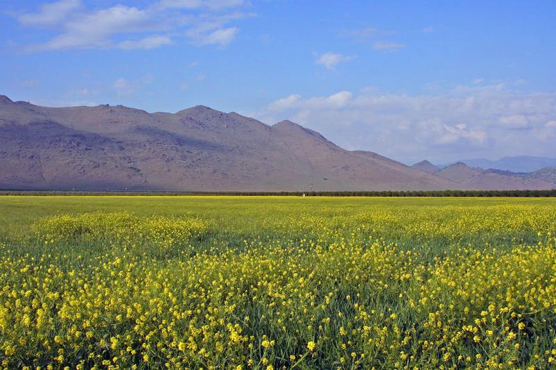 Mustard fields somewhere near Seville, CA