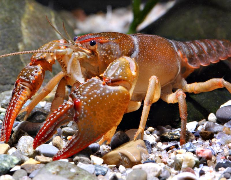 Devil Crayfish