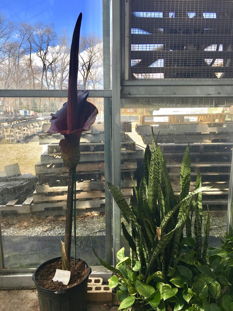 The fully bloomed amorphophallus plant stands nearly 64 inches tall.