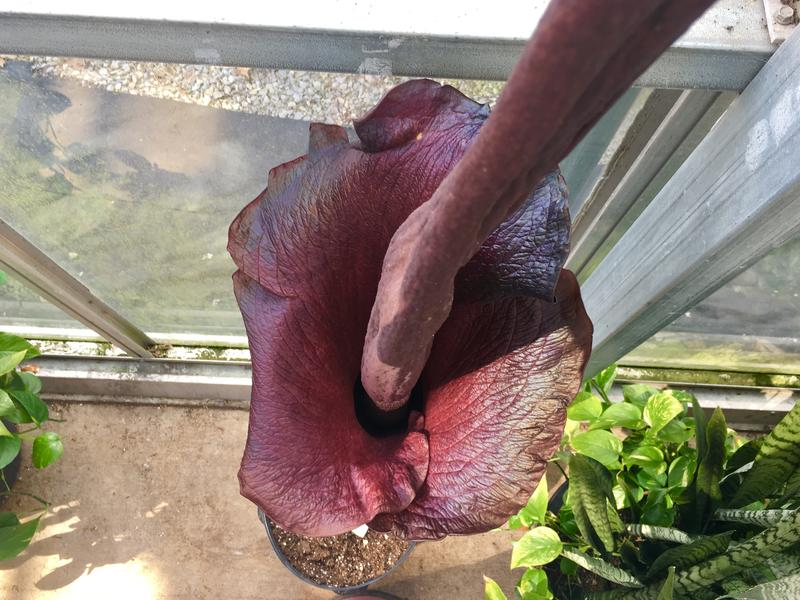 The fully bloomed amorphophallus plant.