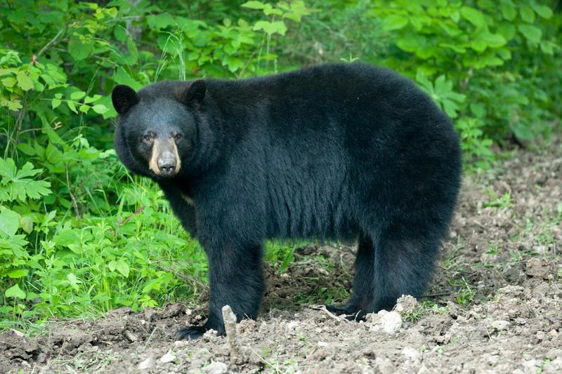 Black Bear sow, Forsyth, MO
