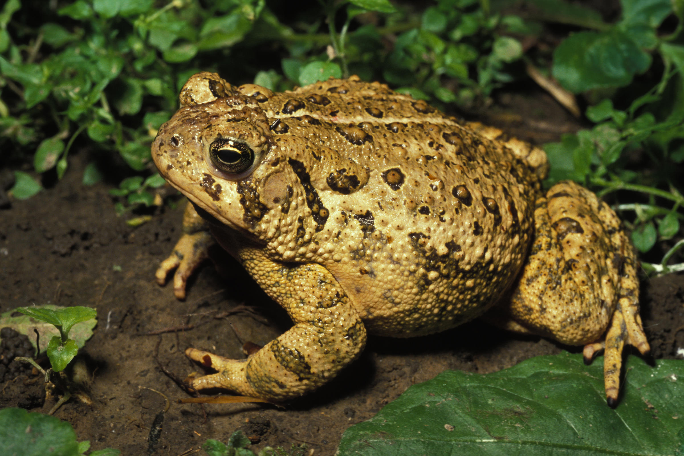 american toads fill the night sky with their musical trill