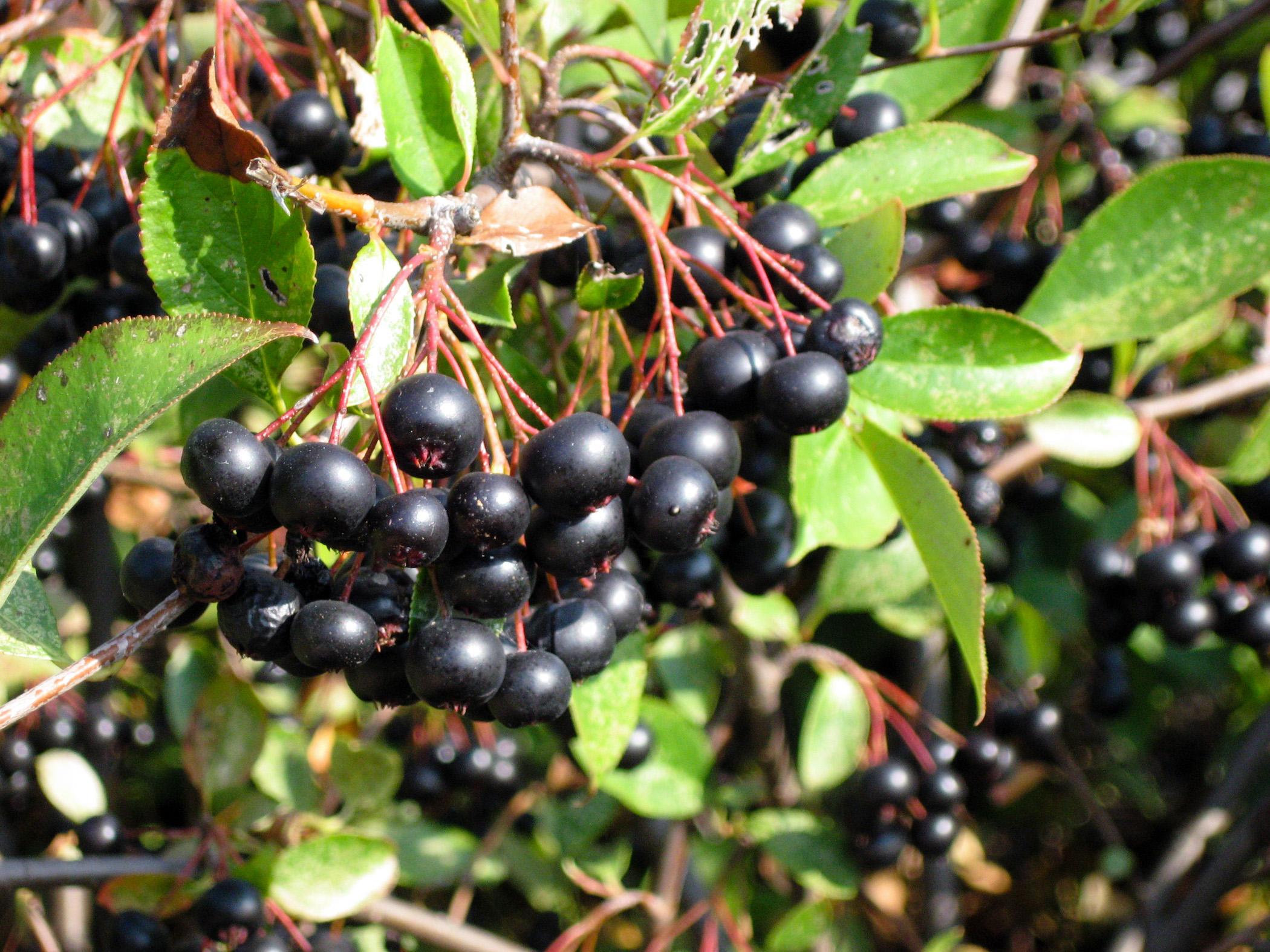Black Chokeberries Krcu