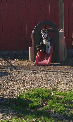 Dogs playing outside at a local boarding kennel in Lafayette.