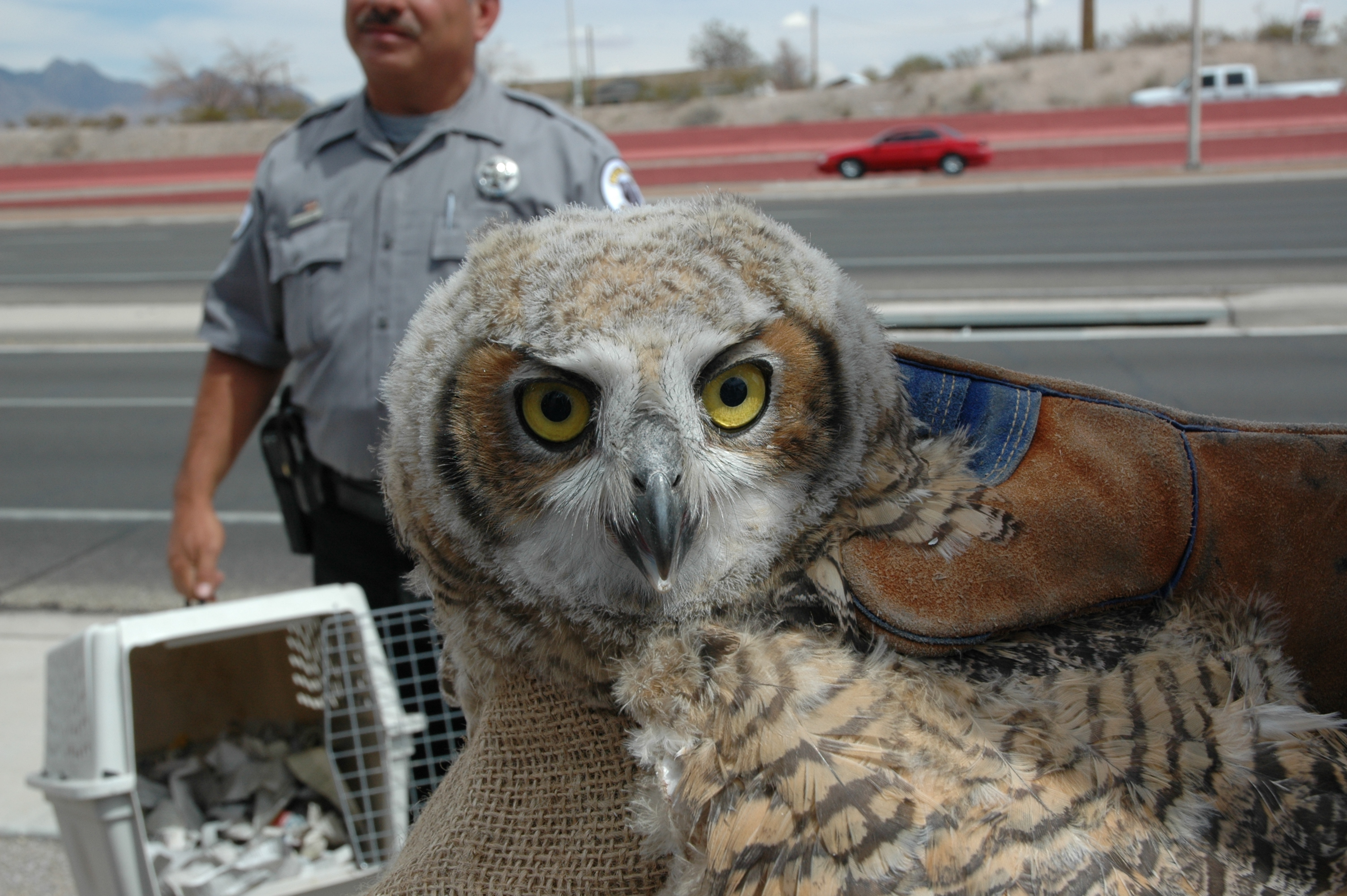 Owl rescue in las cruces krwg for Nm game and fish