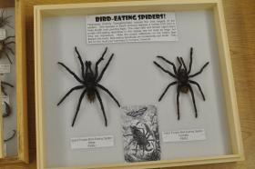 Heraphosidae or bird-eating spider of Peru on display at New Mexico State University's Arthropod Museum. (submitted photo)
