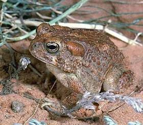Arizona Toad found in the Southwest.