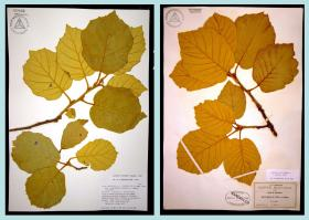 The two specimens are from a species of oak that grows in the Sierra Madre of Chihuahua, Mexico. The one of the left was collected in 1989, the one on the right in 1887. (Courtesy photo)