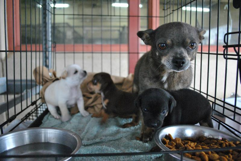 A Chihuahua mix, brought to the shelter as a stray that was reportedly living under an abandoned trailer, awaits adoption with her three puppies at the Animal Services of the Mesilla Valley. The family is part of a recent influx of puppies brought to the