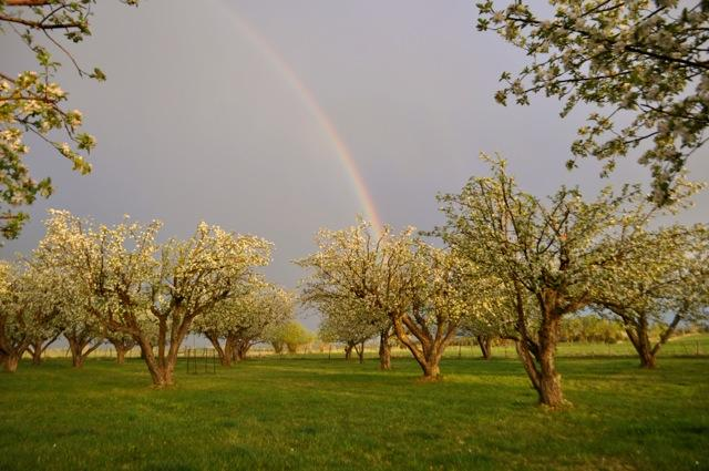 Apple orchard and rainbow