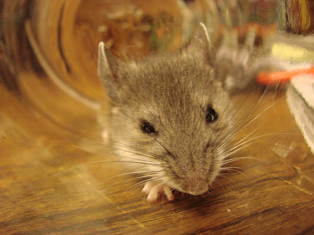 Deer mouse, the primary carrier of hantavirus in the Southwest