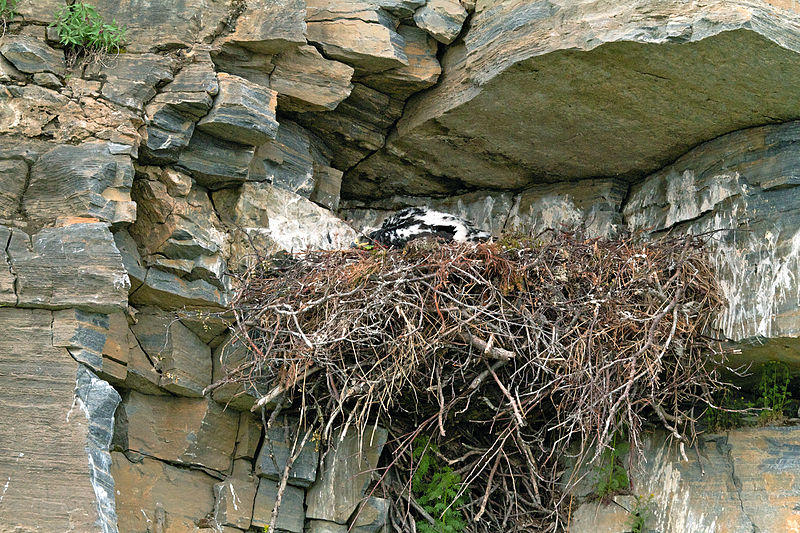 An example photo of a golden eagle nesting in cliffs in Alaska