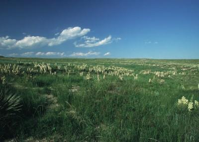 Spanish Bayonette on Pawnee Grassland, Colorado