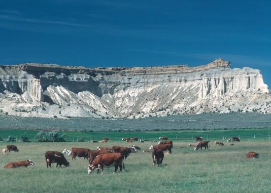 Cattle Grazing on Colorado Rangeland
