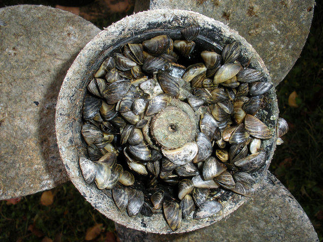 Invasive mussels clog boat propeller.