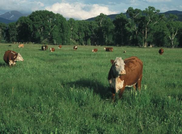 Colorado pastures produces good gains on cattle