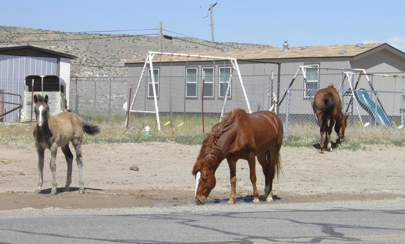Feral horses roam the streets of Montezuma Creek, UT in this May 13th, 2017 photo