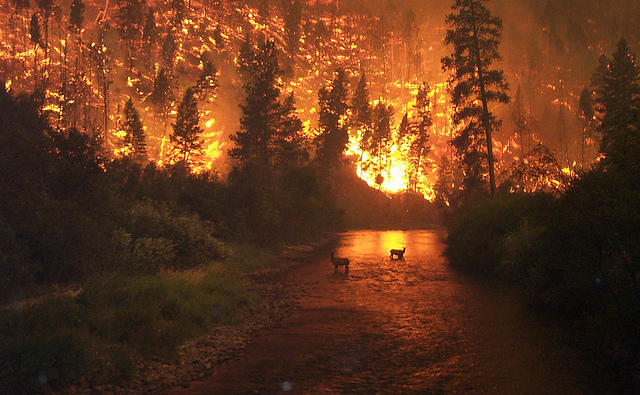 Elk take refuge in a river during a forest fire in Bitterroot Forest, Montana.