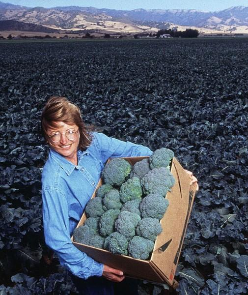 At Salinas, California, ARS agronomist Sharon Benzen displays test-plot-grown broccoli that will be used to determine pesticide residue levels. Photo by Scott Bauer.