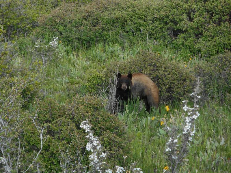 A black bear photographed on Mile 5 of the road to Wetherhill Mesa in Mesa Verde National Park