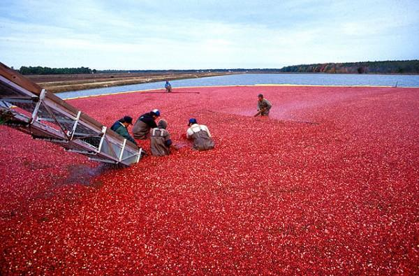New Jersey cranberry harvest.