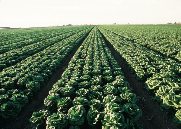 Acres and acres of lettuce in Arizona