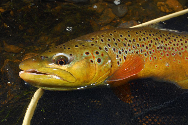 A brown trout in breeding colors.