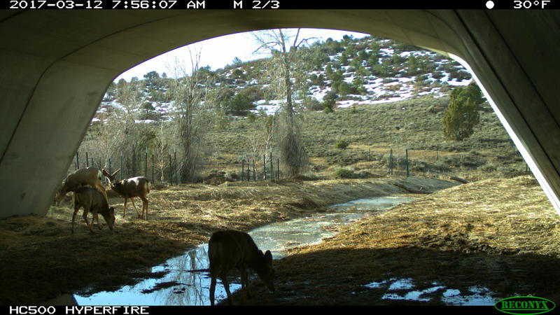 A surveillance camera shows mule deer using the Highway 160 underpass east of Durango.