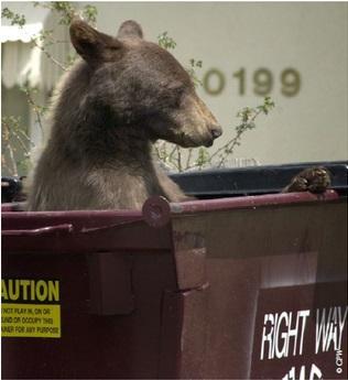 A young bear enjoys some urban snacking.