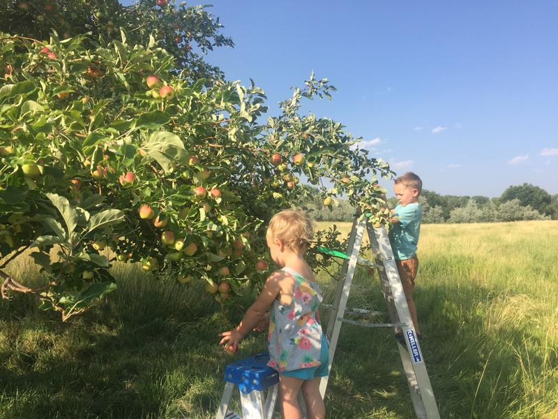 Mato and Chayton Johansson pick apples from what is believed to be a Gravenstein tree near Nucla.