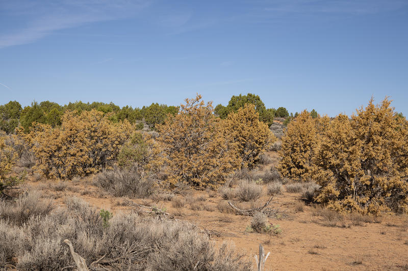 Dying junipers change to a yellow hue, retired botanist Kay Shumway says.